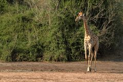 Giraffes στη σαβάνα της Αφρικής στοκ εικόνες