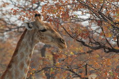 Giraffes στη σαβάνα της Ναμίμπια Στοκ Εικόνες