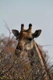 Giraffes στη σαβάνα της Ναμίμπια Στοκ εικόνες με δικαίωμα ελεύθερης χρήσης