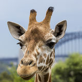 Giraffes στο ζωολογικό κήπο με μια άποψη του ορίζοντα του Σίδνεϊ στην πλάτη Στοκ εικόνα με δικαίωμα ελεύθερης χρήσης