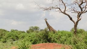 Giraffes στο σαφάρι σαβανών στην Κένυα στοκ φωτογραφίες με δικαίωμα ελεύθερης χρήσης
