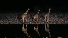 Giraffes στο waterhole απόθεμα βίντεο