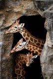 giraffes τρία Στοκ εικόνα με δικαίωμα ελεύθερης χρήσης