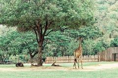 Giraffes τρώνε τις εγκαταστάσεις στο ζωολογικό κήπο Στοκ εικόνες με δικαίωμα ελεύθερης χρήσης