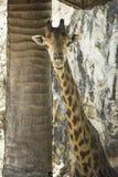 Giraffes χαμόγελο Στοκ Εικόνα