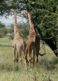 giraffes δύο Στοκ Φωτογραφία