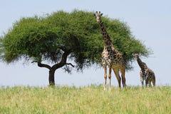 giraffes δύο Στοκ φωτογραφίες με δικαίωμα ελεύθερης χρήσης