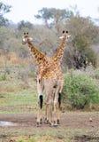 giraffes δύο Στοκ Φωτογραφίες