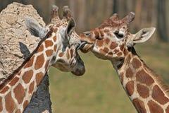 giraffes сетчатые стоковое изображение