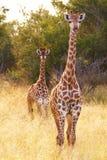 giraffes δύο Στοκ φωτογραφία με δικαίωμα ελεύθερης χρήσης