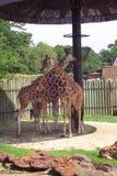Giraffes - 1 Photos libres de droits