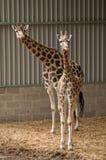giraffes Стоковые Изображения
