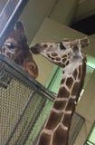 giraffes Стоковые Фотографии RF