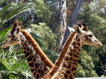 Giraffes Stock Photo