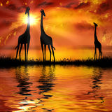 Giraffes. On a beautiful sunset background Stock Photography