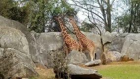 giraffes Στοκ εικόνα με δικαίωμα ελεύθερης χρήσης