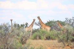 giraffes στοκ φωτογραφία