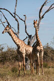 Giraffes Stock Photos