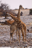 Giraffes Photo stock