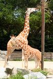 Giraffes. A female giraffe with its baby during feeding time at the zoo stock photo