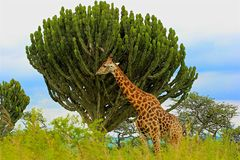 Free Giraffes Royalty Free Stock Photos - 132432398