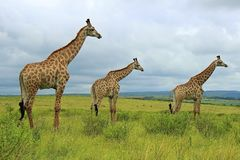 Free Giraffes Stock Image - 132432591