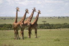 Giraffes. Grouped in the Masai Mara, Kenya Royalty Free Stock Photos