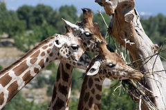 Giraffes Royalty Free Stock Photos