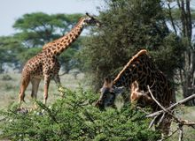 Giraffes. The giraffe was inclined over a bush of an acacia and has opened a mouth to break leaves Royalty Free Stock Photo