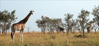 Giraffes. The group of giraffes walk on savanna on the grass dried up by the sun and eat leaves from high trees Stock Photo
