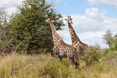 giraffes Стоковое Изображение