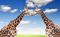 Giraffes. Two nice big giraffes with a beautiful background Royalty Free Stock Images