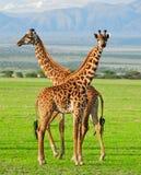 giraffes 2 Стоковые Изображения