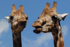 Giraffes Images libres de droits