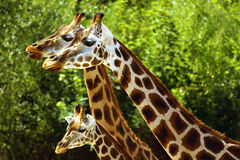 Giraffes. Three giraffes go side by side Royalty Free Stock Images