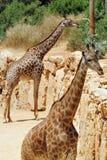 Giraffes Image libre de droits