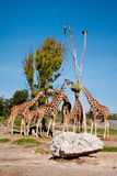 Giraffes Fotos de Stock Royalty Free