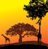 Giraffes Royalty Free Stock Image