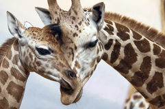 Giraffes Foto de Stock Royalty Free