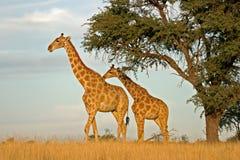 Giraffes fotos de stock royalty free