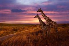 Giraffes Stock Images