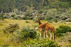 Giraffes Royalty Free Stock Photo