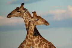 giraffes Στοκ εικόνες με δικαίωμα ελεύθερης χρήσης