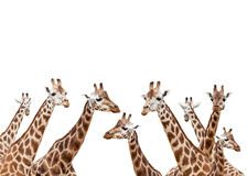 Giraffes. Group of giraffes isolated on white background Royalty Free Stock Images