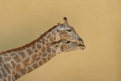 giraffes Photos stock