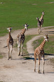 Giraffes Royalty Free Stock Photography
