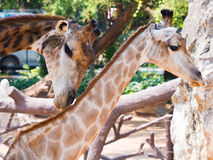 Giraffes. Long shot of a Giraffe head royalty free stock images