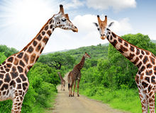 Giraffes. In Kruger park South Africa Royalty Free Stock Photos