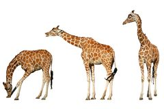 giraffes 3 стоковая фотография rf