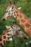 Giraffes fotografia de stock royalty free